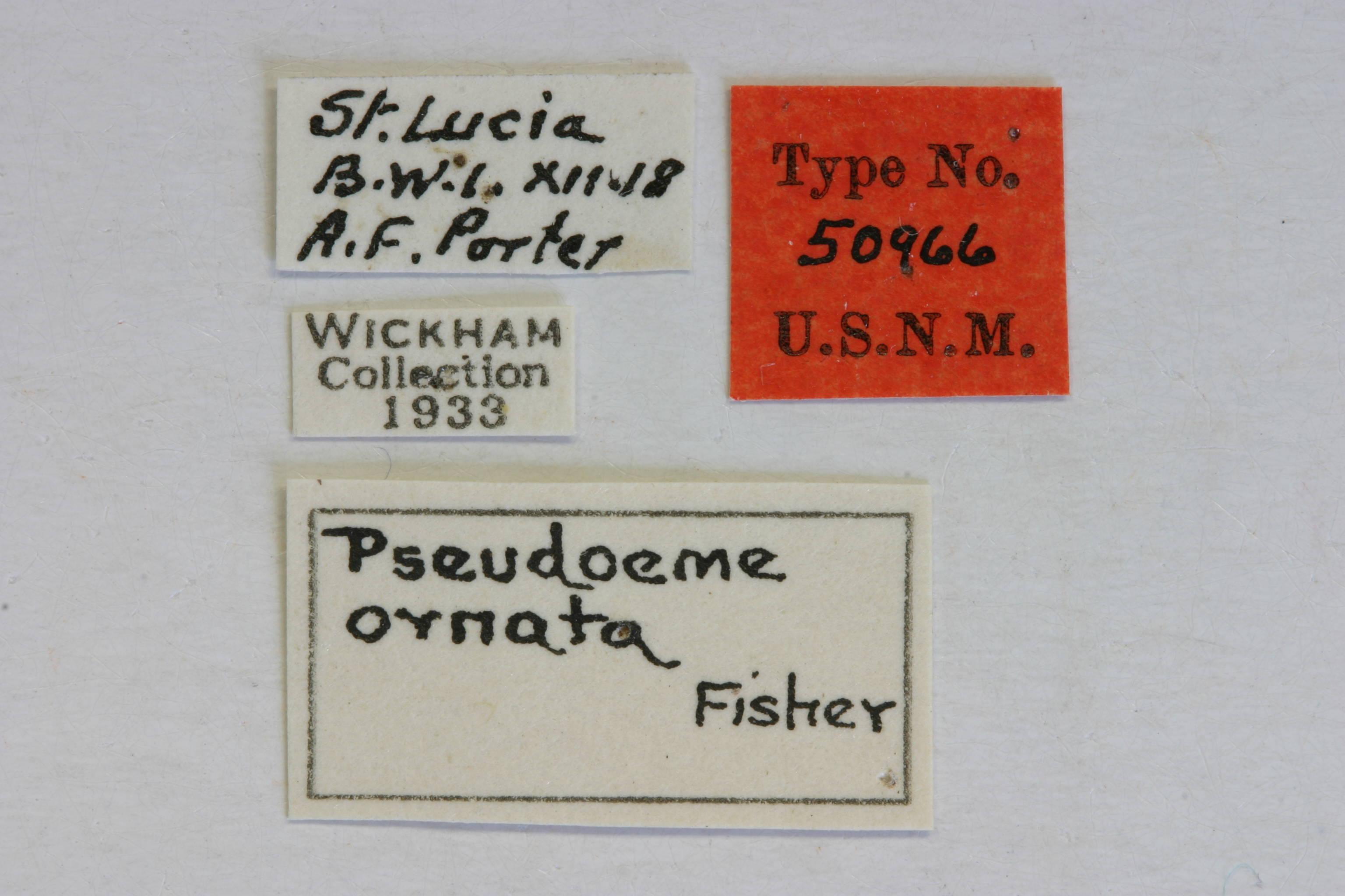 Image of <i>Ochrus ornatus</i> (Fisher 1935)