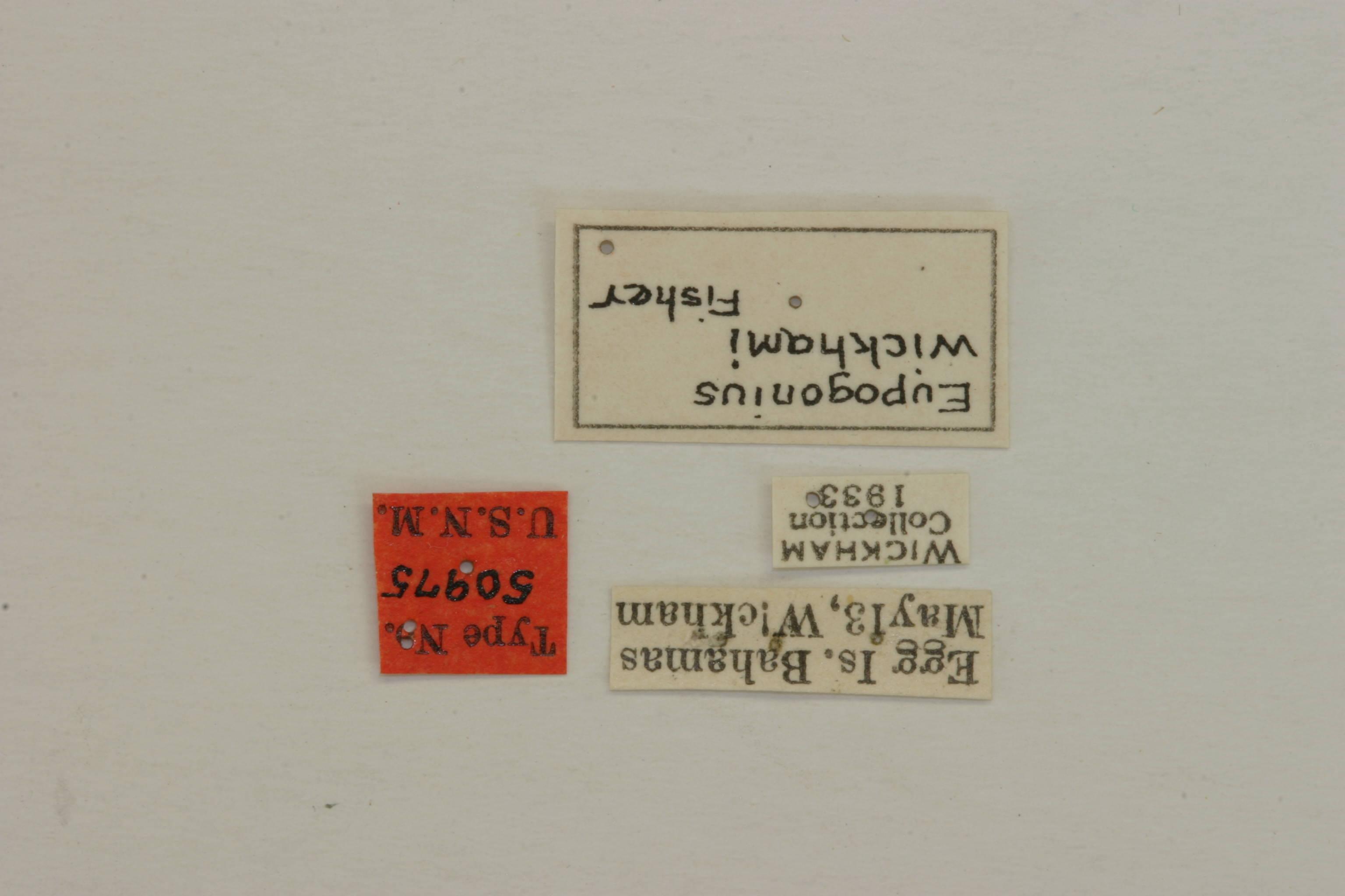 Image of <i>Eupogonius wickhami</i> Fisher 1935