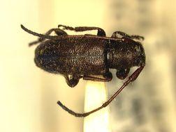 Image of <i>Eupogonius piceus</i> (Fisher 1936)