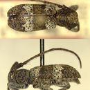 Image of <i>Falsomesosella nigronotata hakka</i> Gressitt 1937
