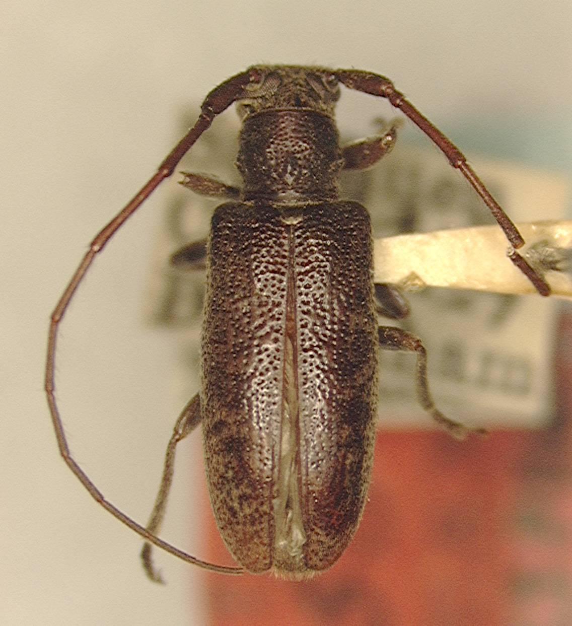 Image of <i>Anaespogonius brevepilis</i> Gressitt
