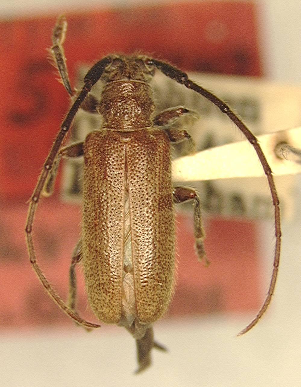 Image of <i>Anaespogonius fulvus</i> Gressitt 1938