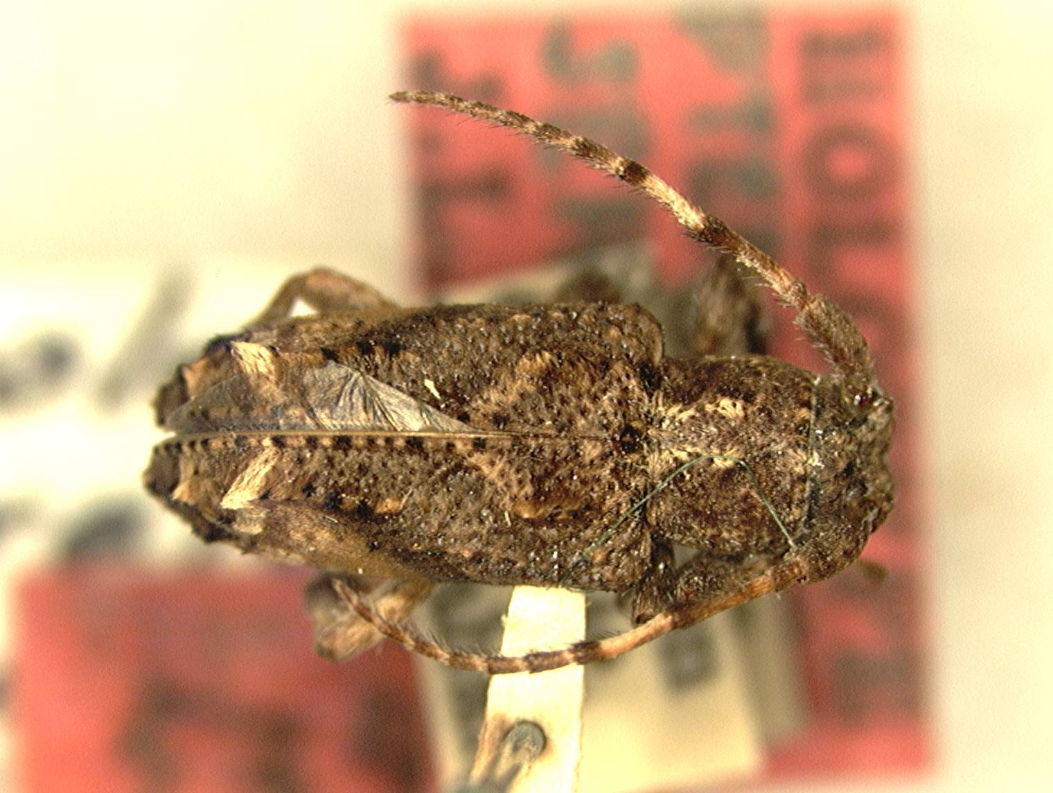 Image of <i>Pterolophia serrata</i> Gressitt 1938