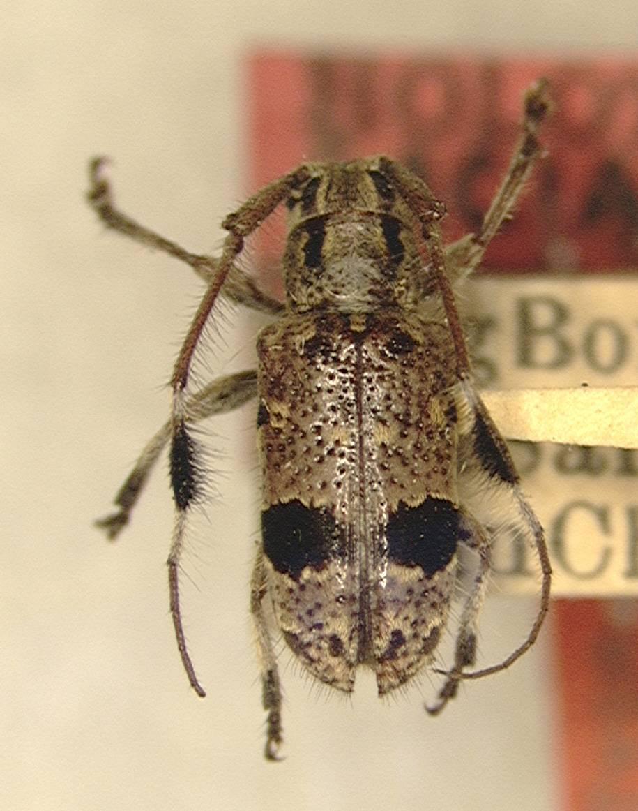 Image of <i>Cacia cochinchinensis</i> Gressitt