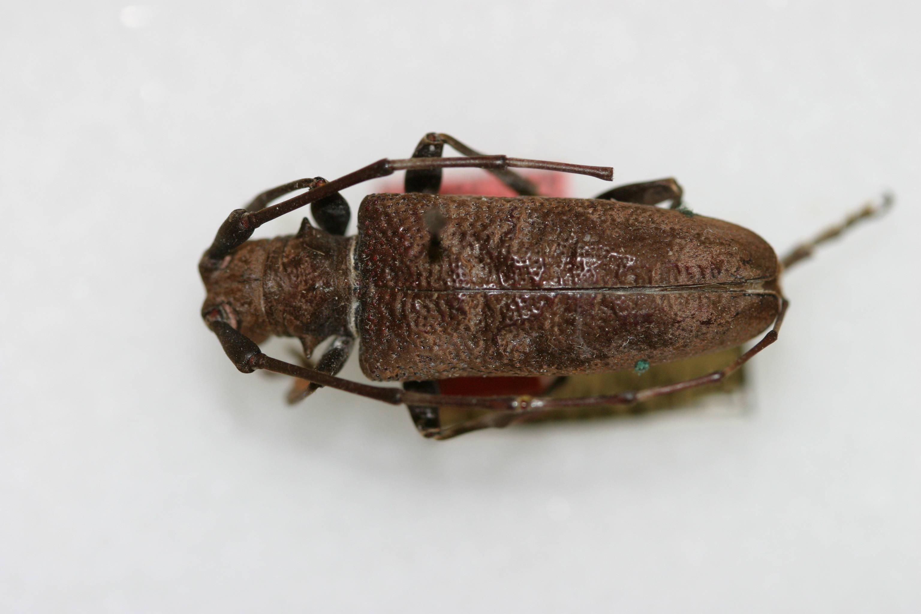 Image of <i>Acalolepta szechuana</i> (Gressitt 1938)
