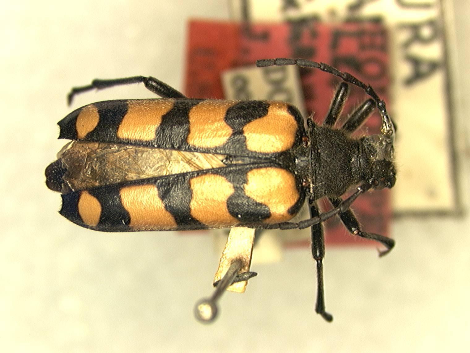 Image of <i>Leptura grahamiana</i> Gressitt 1938