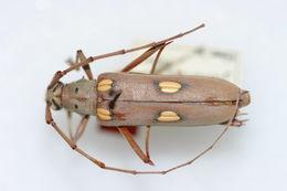 Image of <i>Eburia jamaicae</i> Fisher 1942