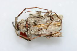 Image of <i>Oreodera glauca jamaicensis</i> Fisher 1942