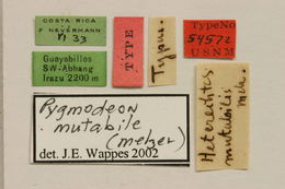 Image of <i>Pygmodeon mutabile</i> (Melzer 1935)