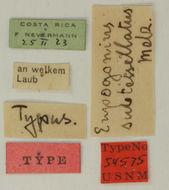 Image of <i>Eupogonius subtessellatus</i> Melzer 1933