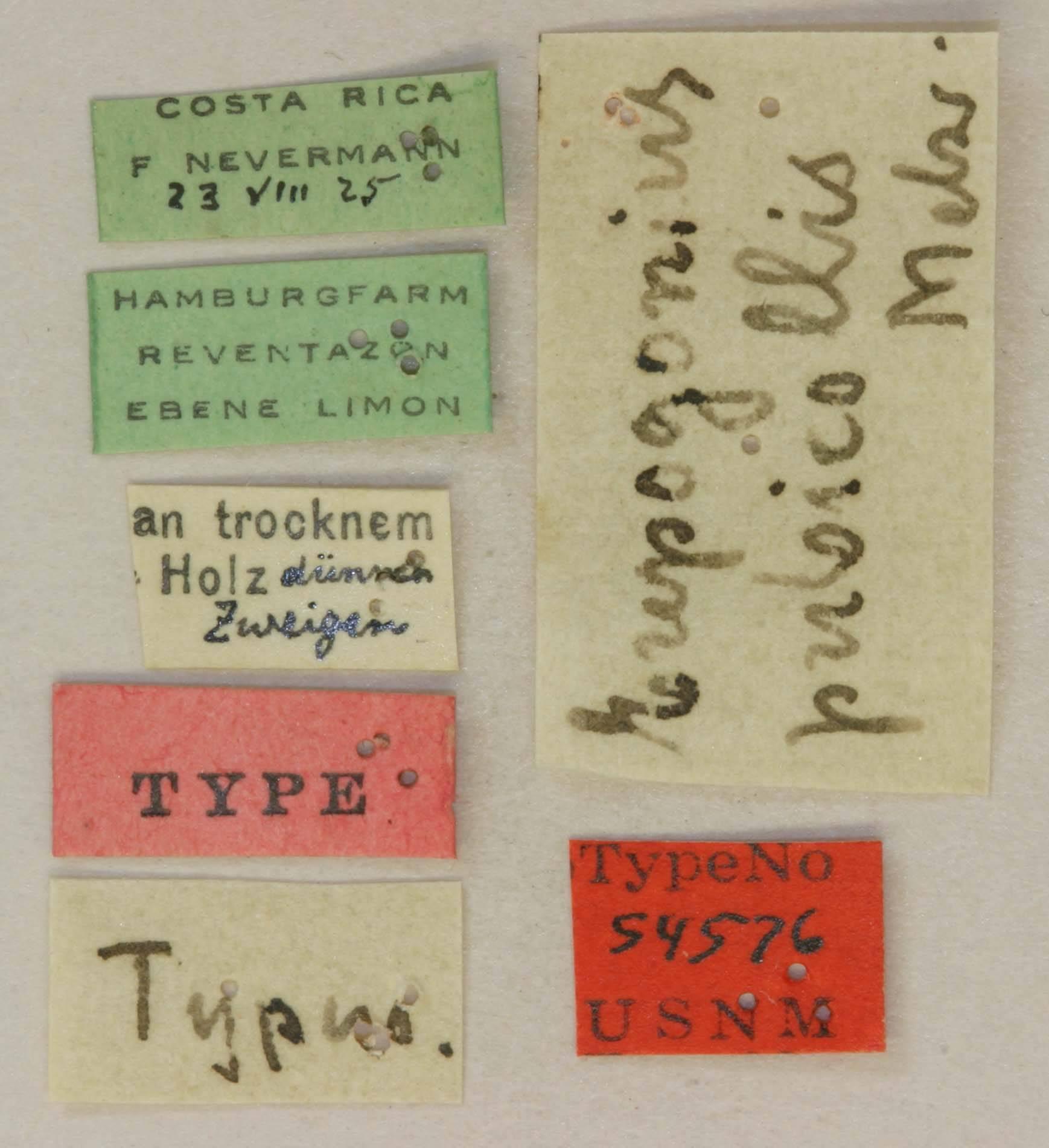 Image of <i>Eupogonius pubicollis</i> Melzer 1933
