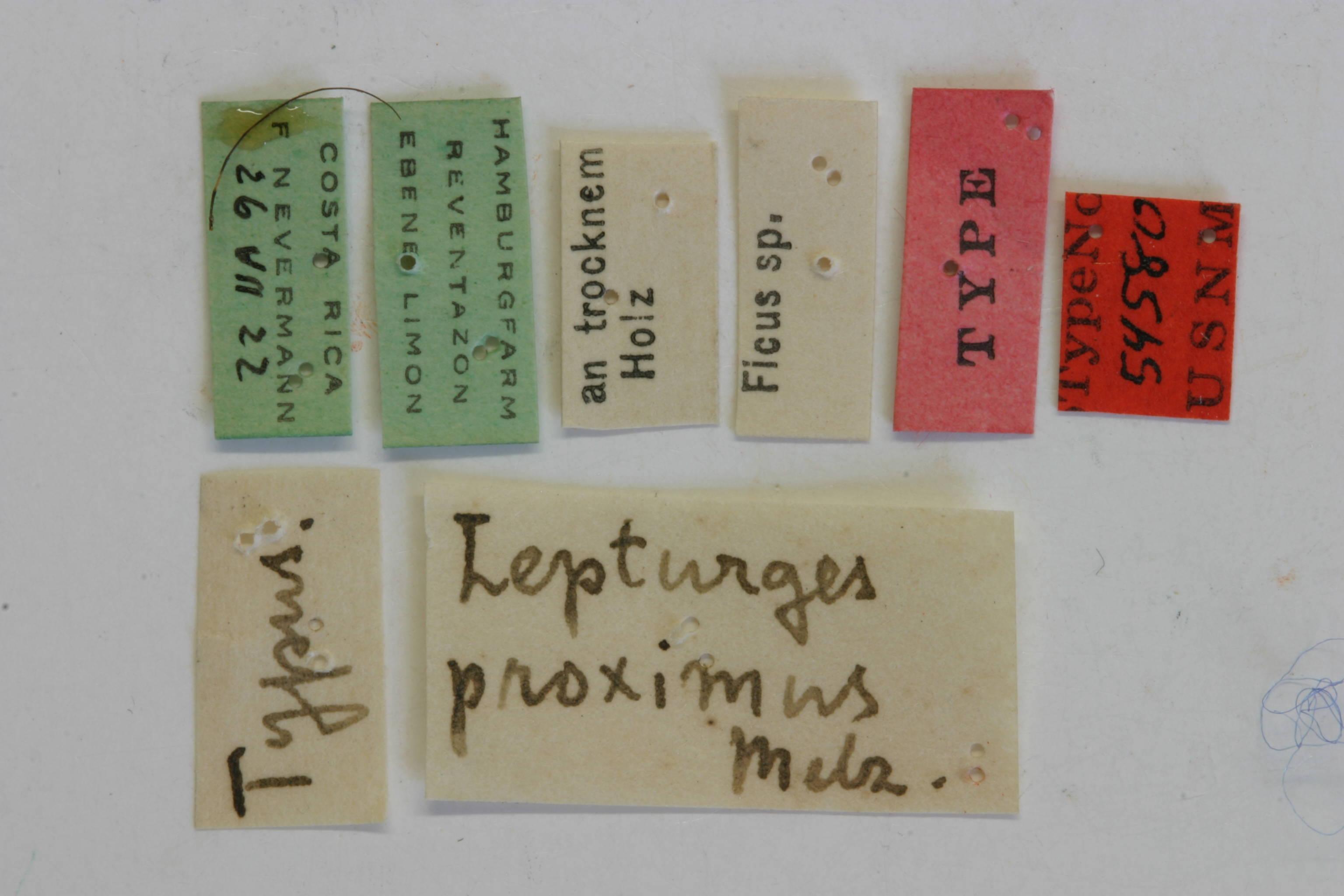 Image of <i>Lepturges proximus</i> Melzer 1934
