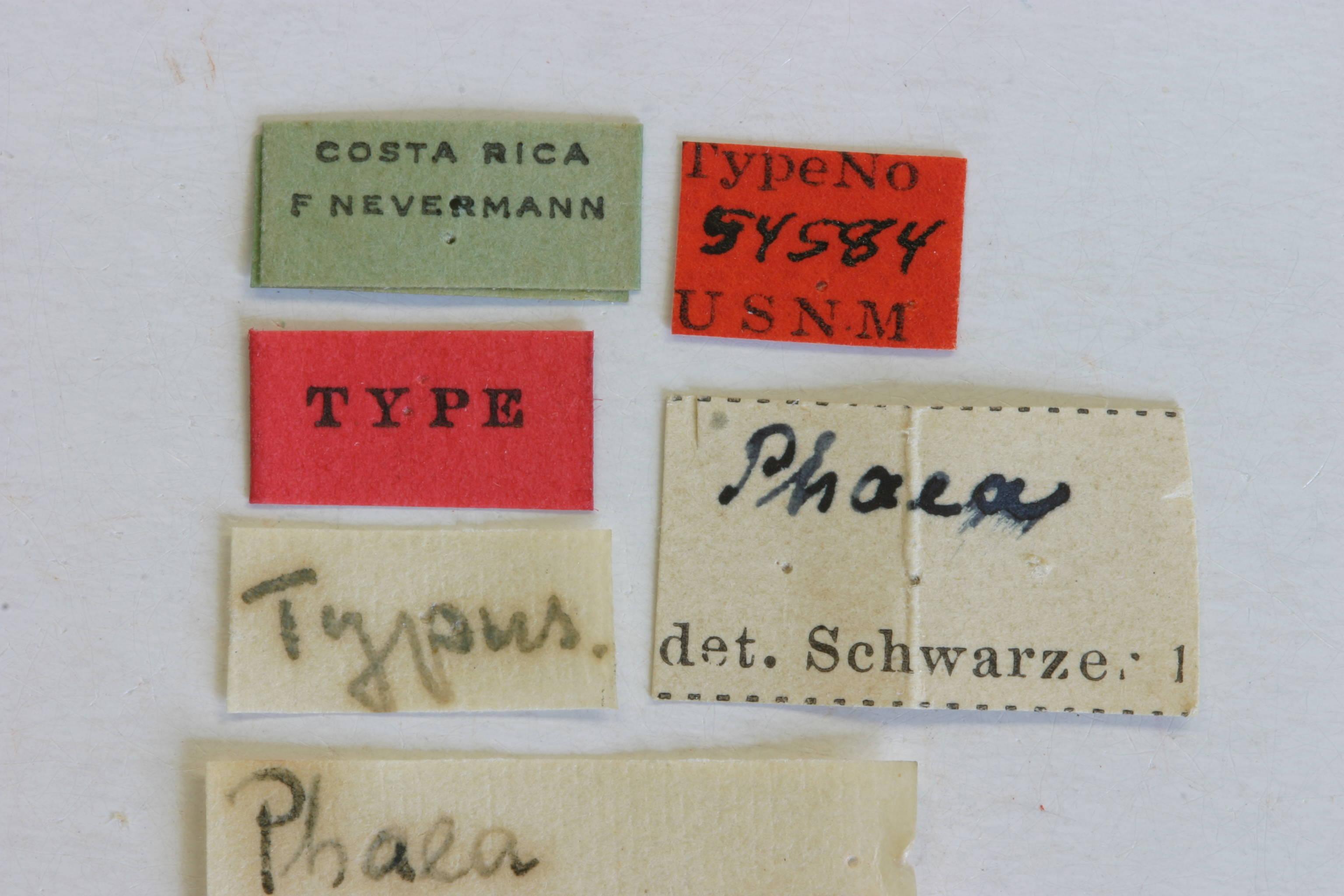 Image of <i>Phaea signaticornis</i> Melzer 1932