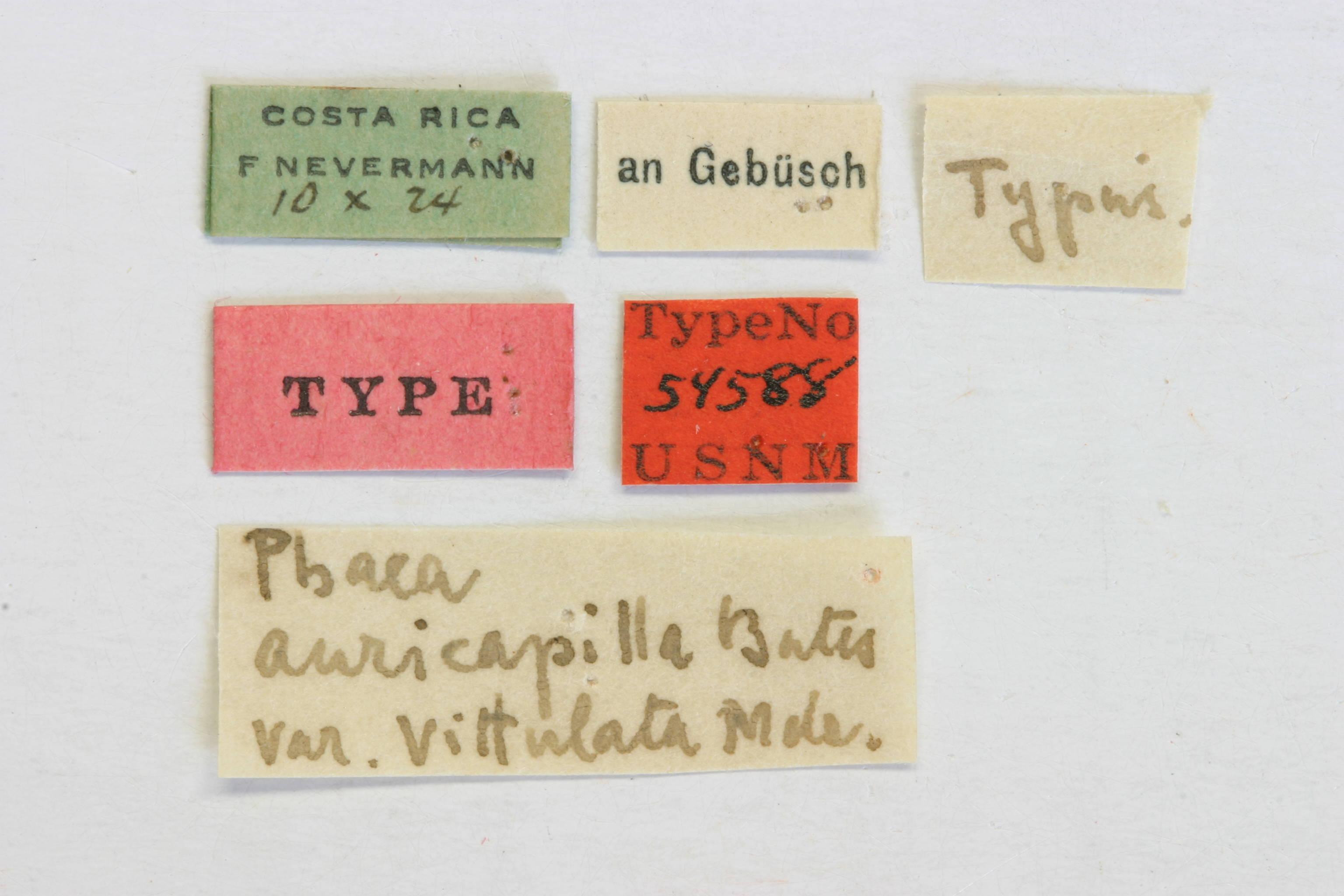 Image of <i>Phaea phthisica</i> Bates 1881