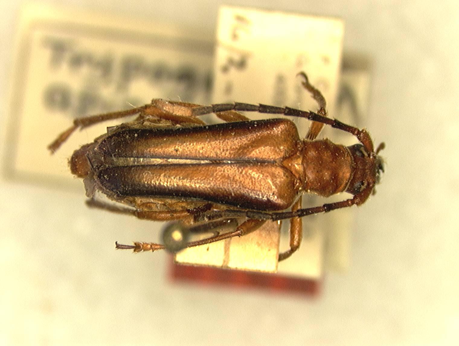 Image of <i>Trypogeus apicalis</i> Fisher 1936