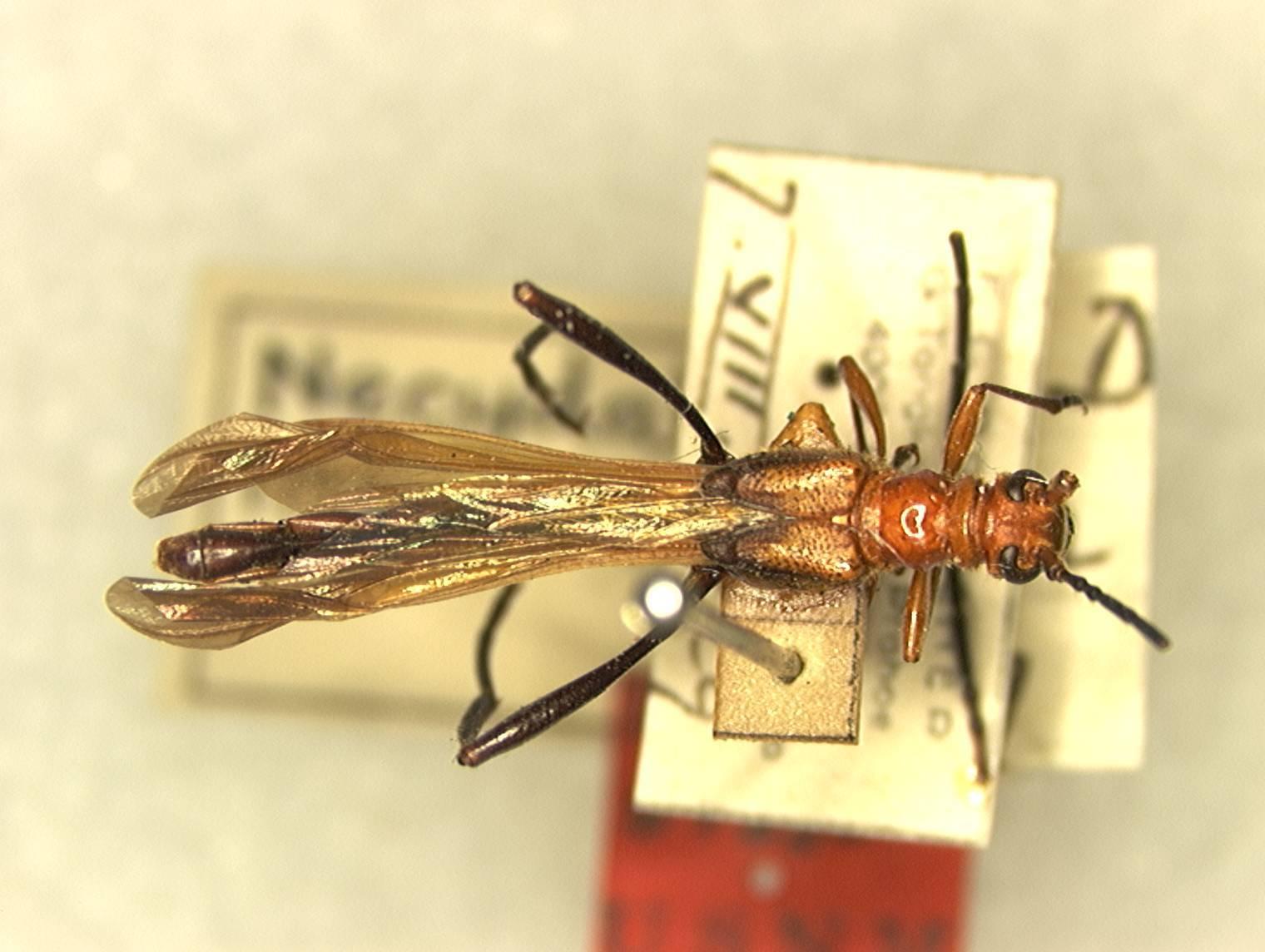 Image of <i>Necydalis insulicola</i> Fisher 1936
