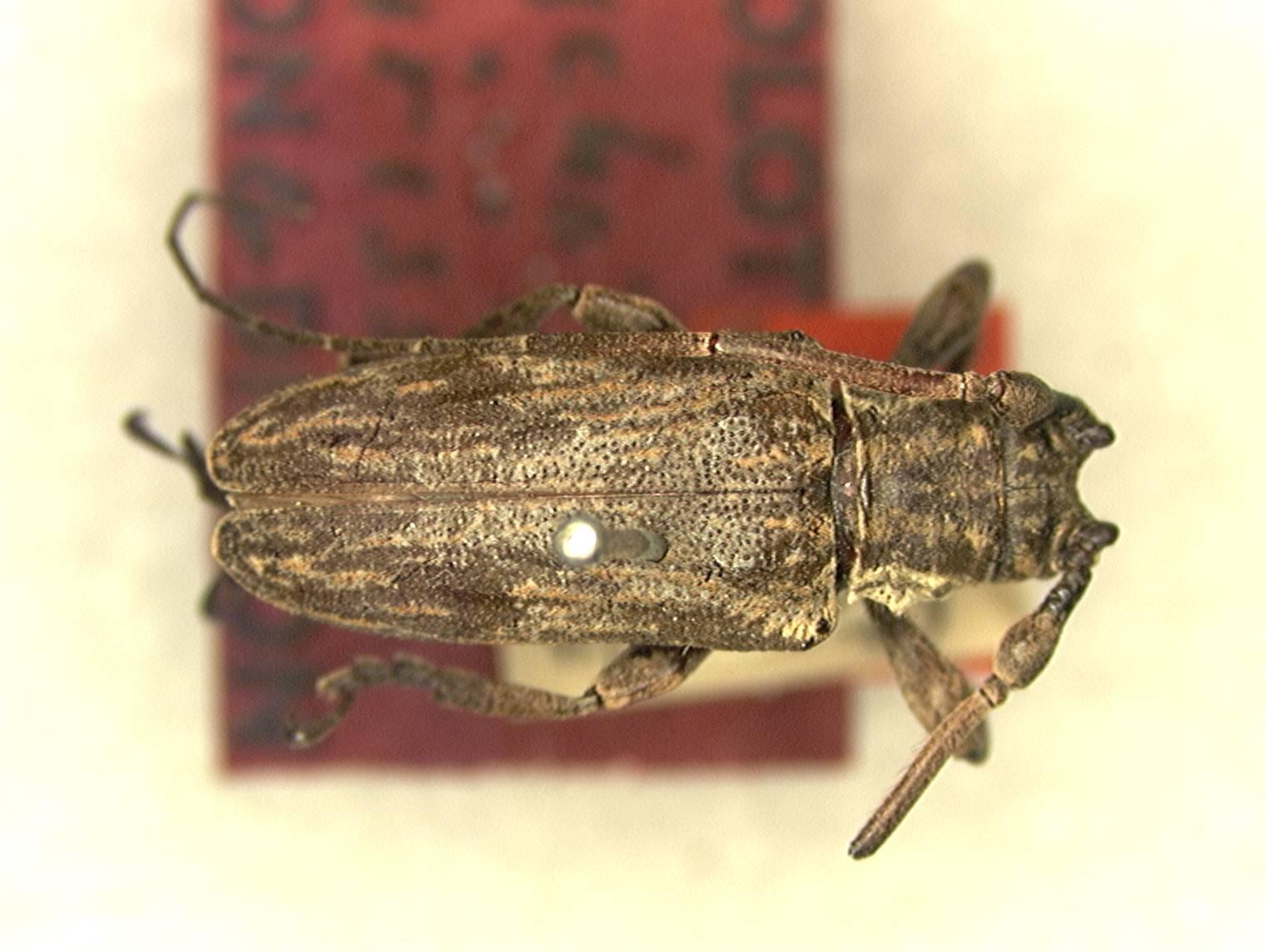 Image of <i>Hesychotypa lirissa</i> Dillon & Dillon 1945