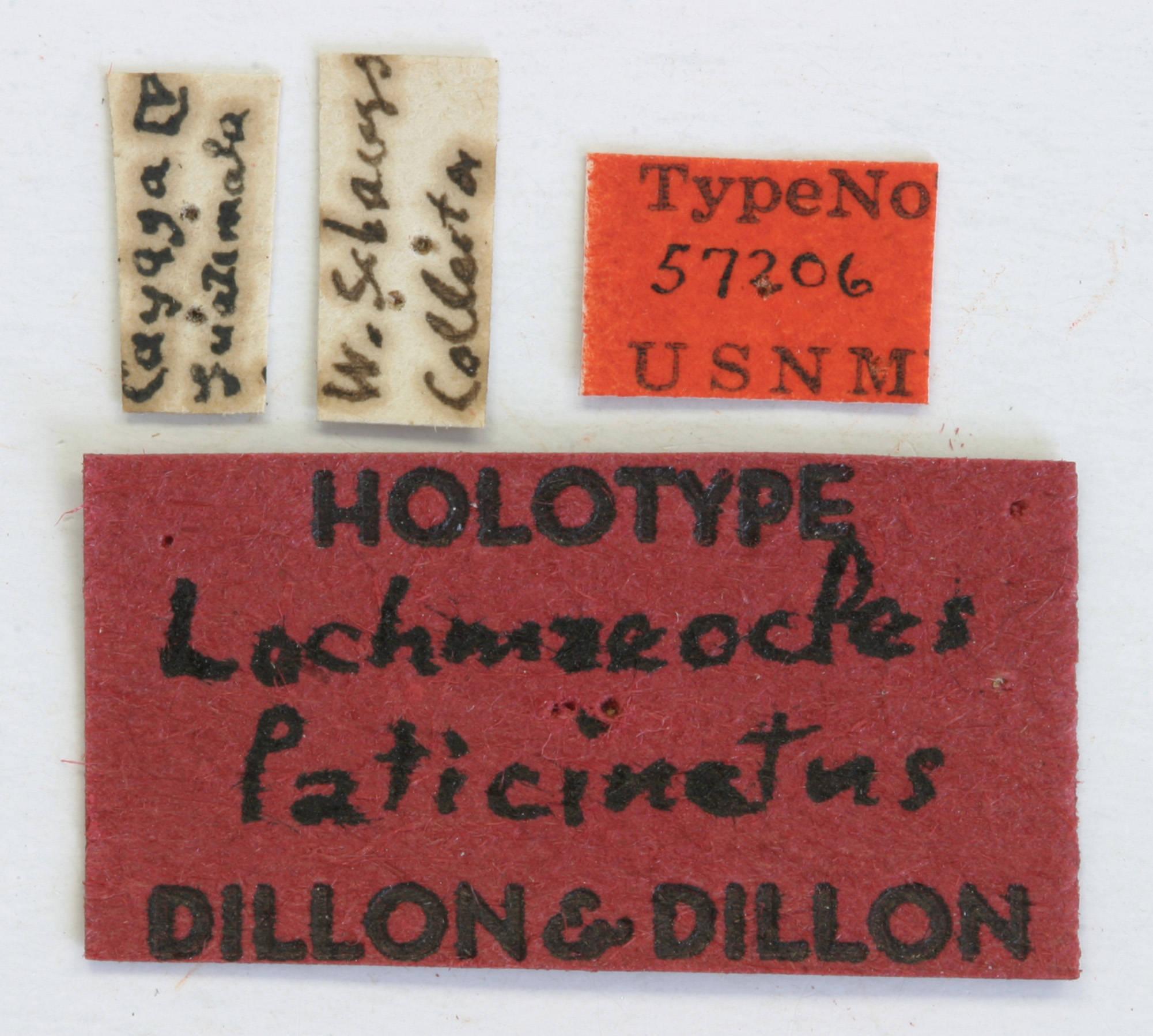 Image of <i>Lochmaeocles laticinctus</i> Dillon & Dillon 1946