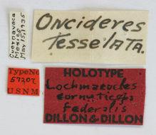 Image of <i>Lochmaeocles cornuticeps federalis</i> Dillon & Dillon 1946