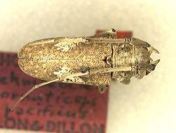 Image of <i>Lochmaeocles cornuticeps pacificus</i> Dillon & Dillon 1946