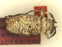 Image of <i>Lochmaeocles zonatus</i> Dillon & Dillon 1946