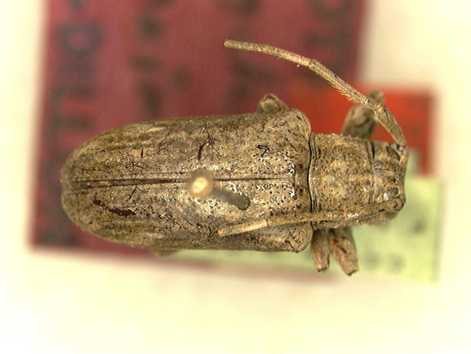 Image of <i>Sternycha approximata</i> Dillon & Dillon 1945