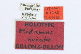 Image of <i>Midamiella hecabe</i> (Dillon & Dillon 1945)