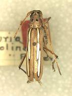 Image of <i>Eburia albolineata</i> Fisher 1944
