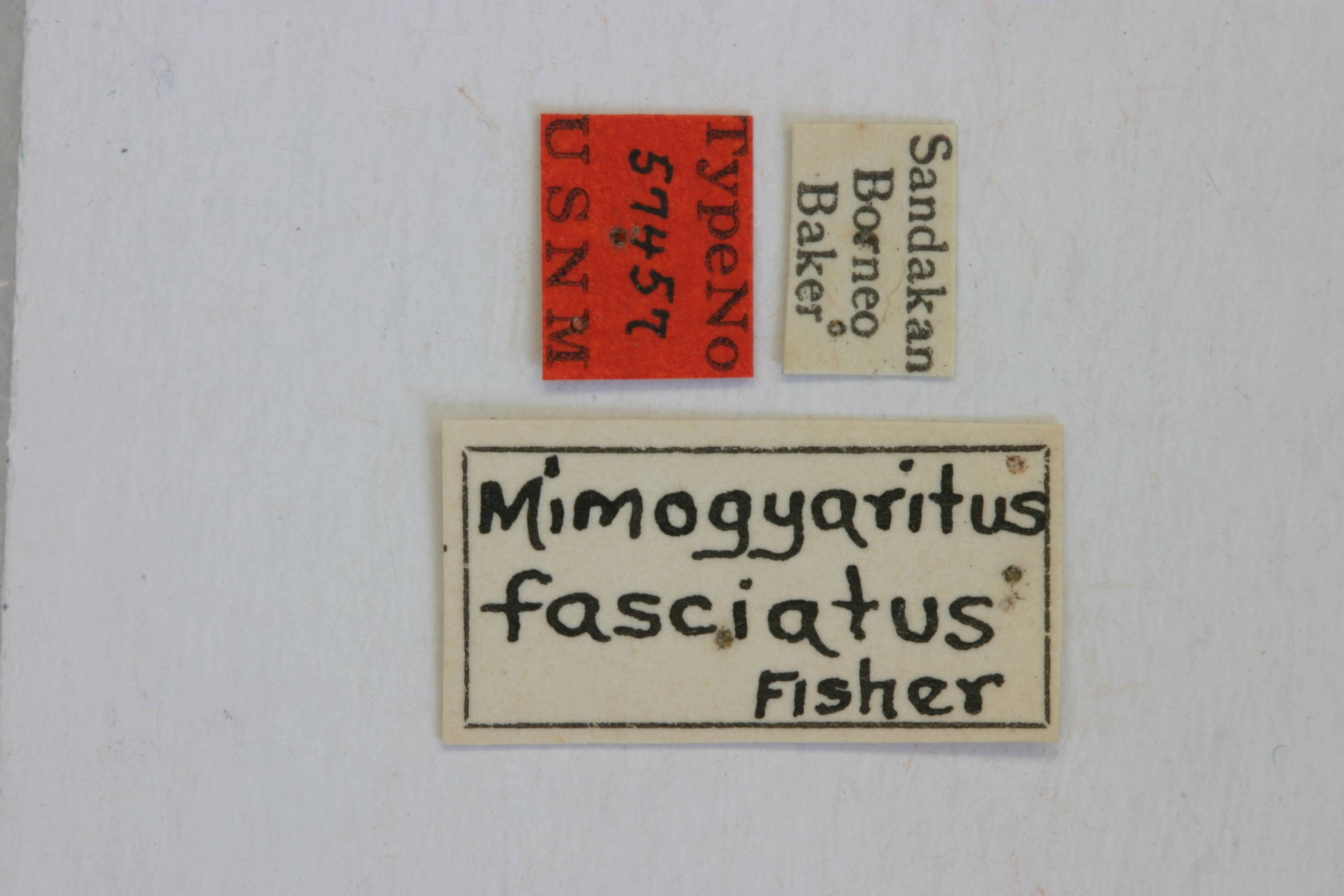 Image of <i>Mimogyaritus fasciatus</i> Fisher 1925