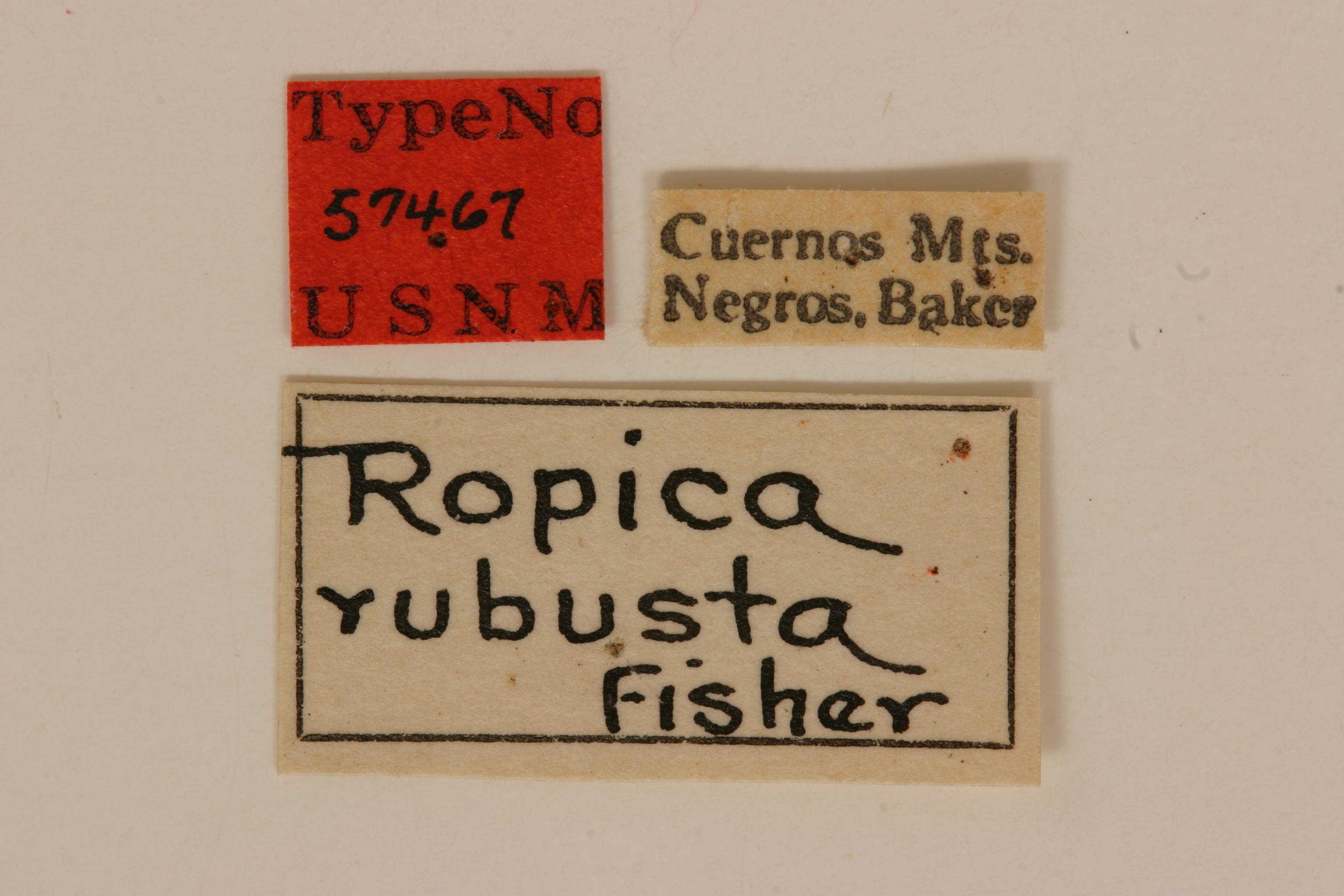 Image of <i>Ropica robusta</i> Fisher 1925
