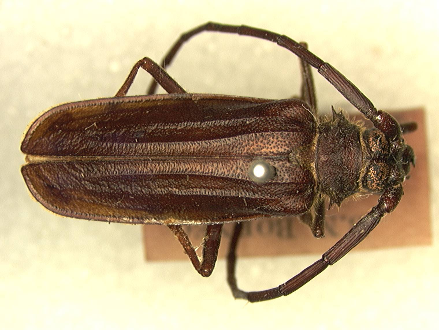 Image of <i>Neosarmydus costipennis</i> Fisher 1935