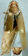 Image of <i>Eburiomorpha guttata</i> Fisher 1935