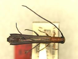 Image of <i>Oberea rubetra</i> Pascoe 1858