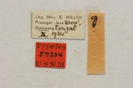 Image of <i>Obereopsis walshae</i> (Fisher 1937)