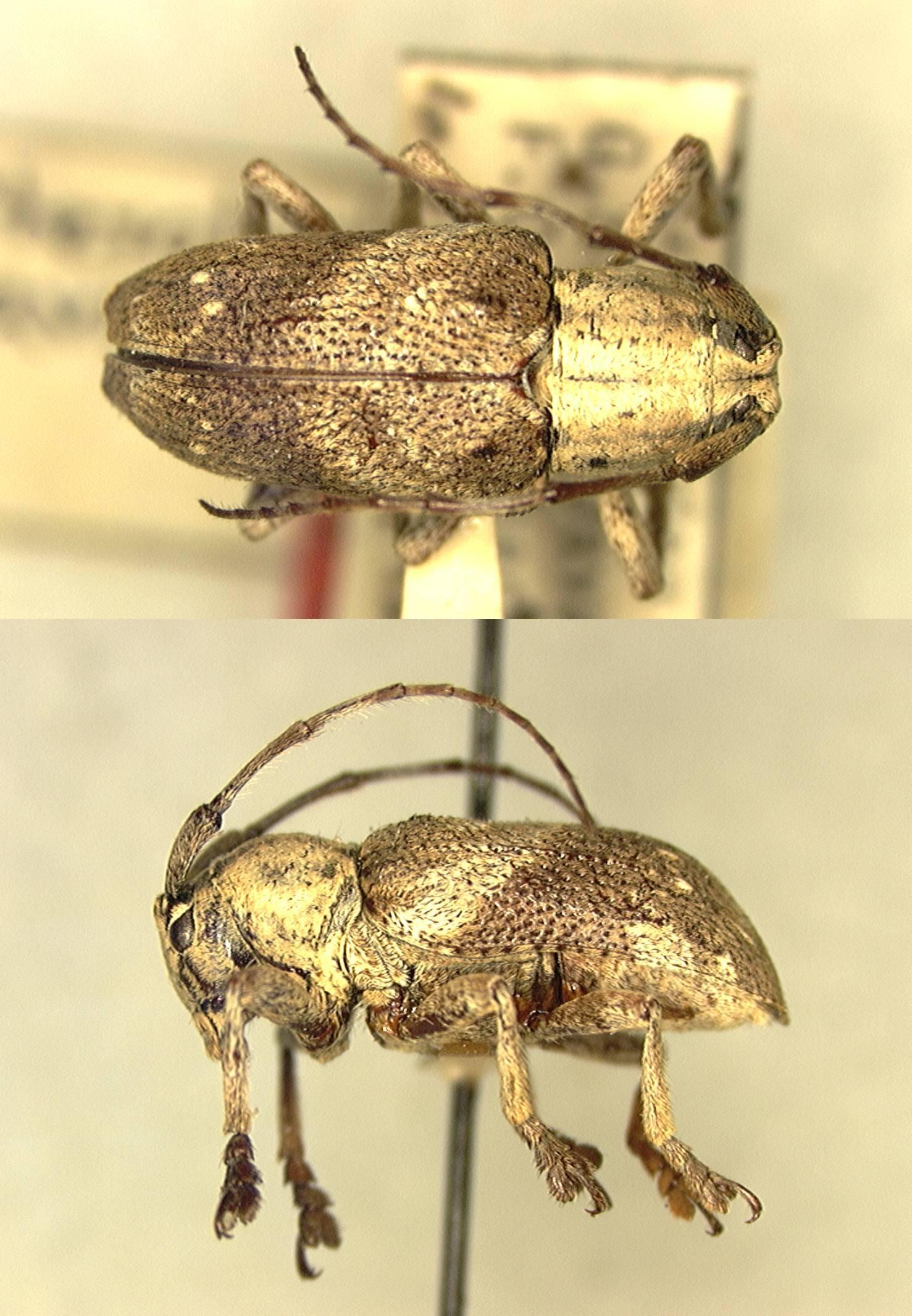 Image of <i>Pterolophia javicola</i> Fisher 1936