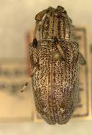 Image of <i>Dystasia variegata</i> Fisher 1936