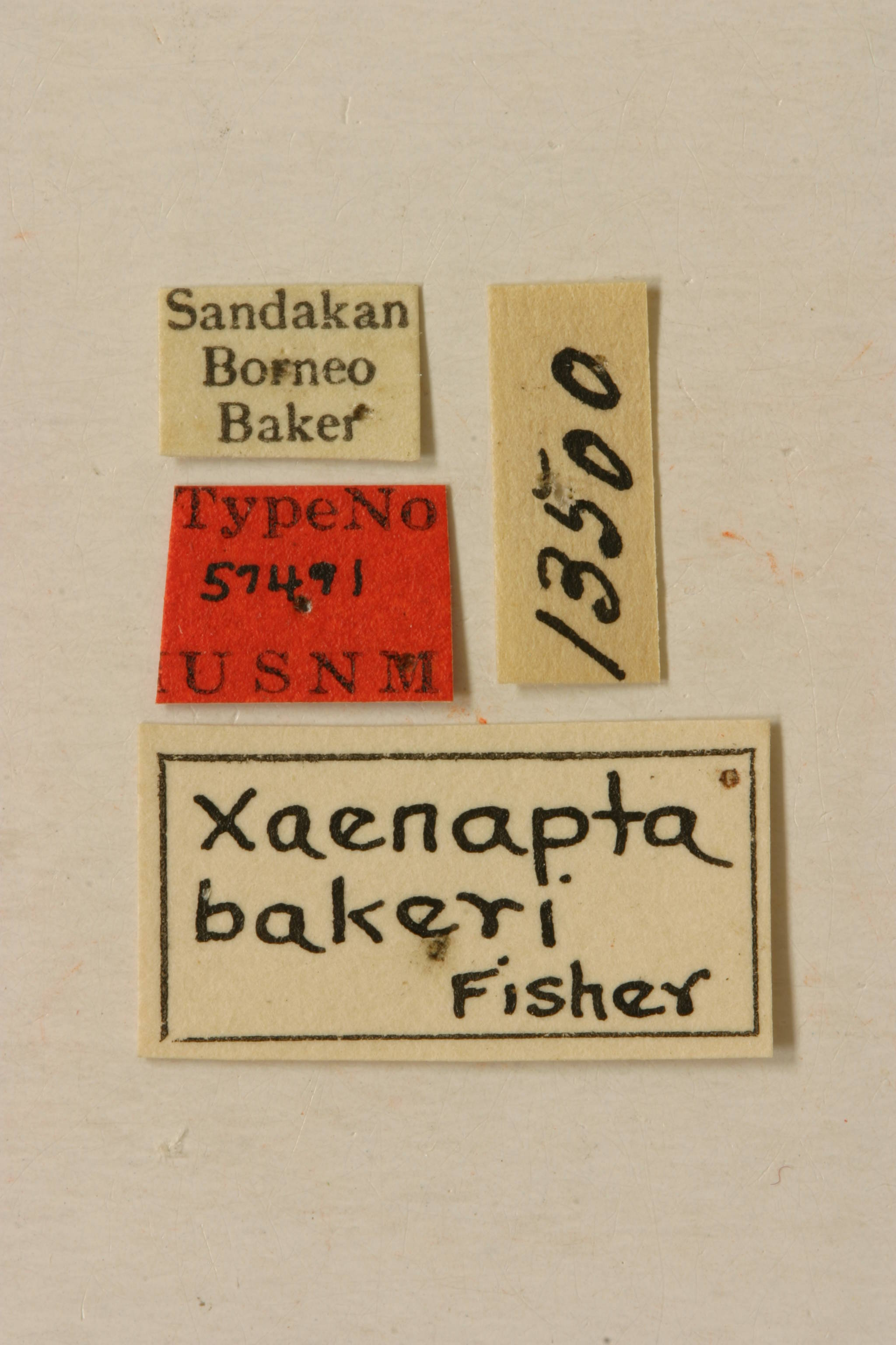 Image of <i>Xaenapta bakeri</i> Fisher 1925