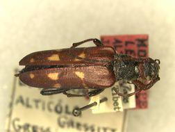 Image of <i>Leptura alticola</i> Gressitt 1948