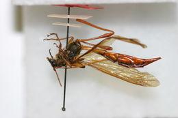 Image of <i>Necydalis marginipennis</i> Gressitt 1948