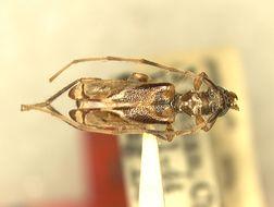 Image of <i>Stenhomalus complicatus</i> Gressitt 1948