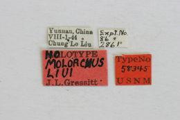 Image of <i>Molorchus liui</i> Gressitt 1948