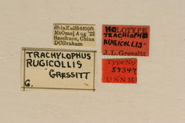 Image of <i>Trachylophus rugicollis</i> Gressitt 1948