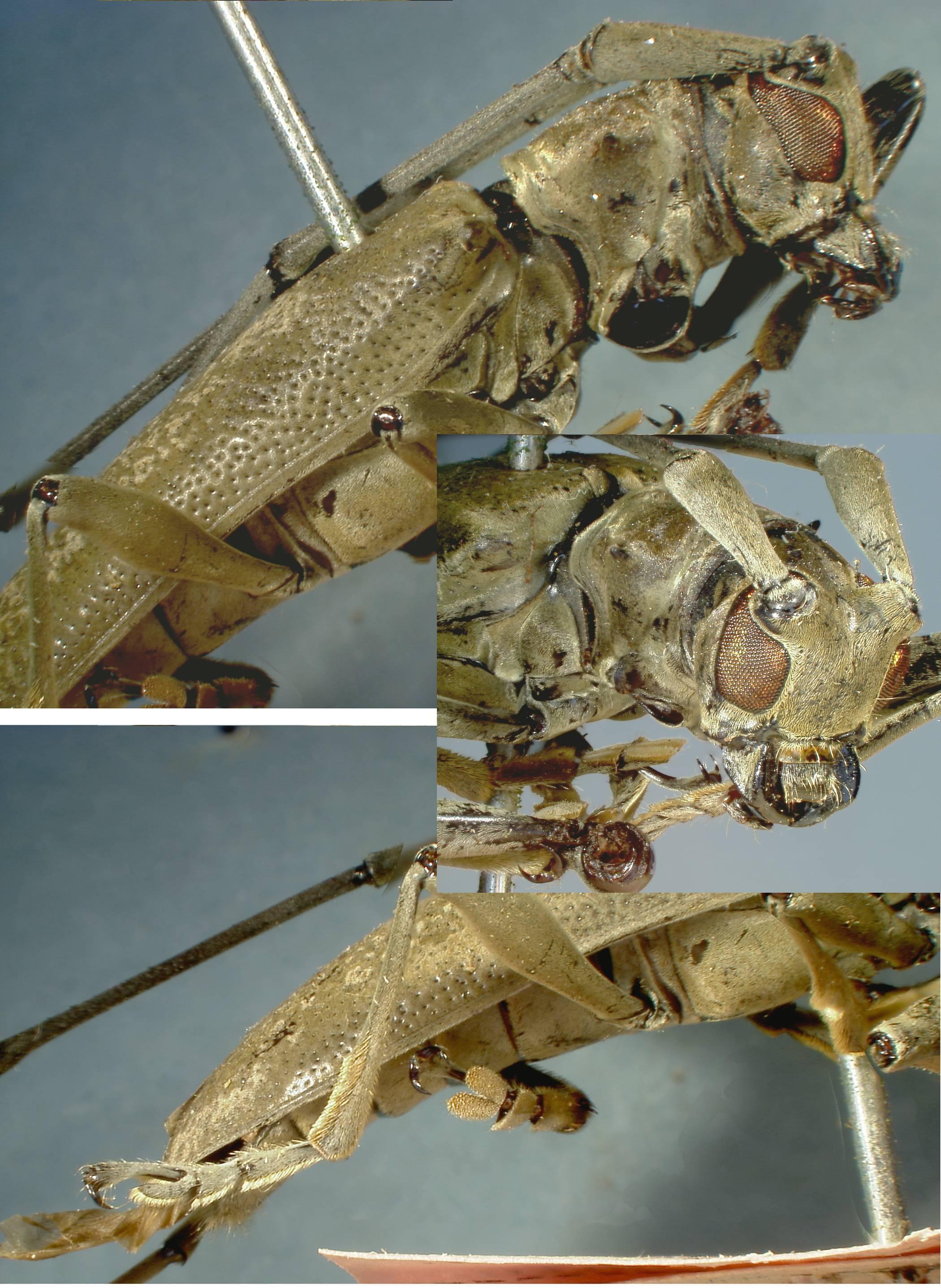 Image of <i>Acalolepta marmorata</i> (Fisher 1935)
