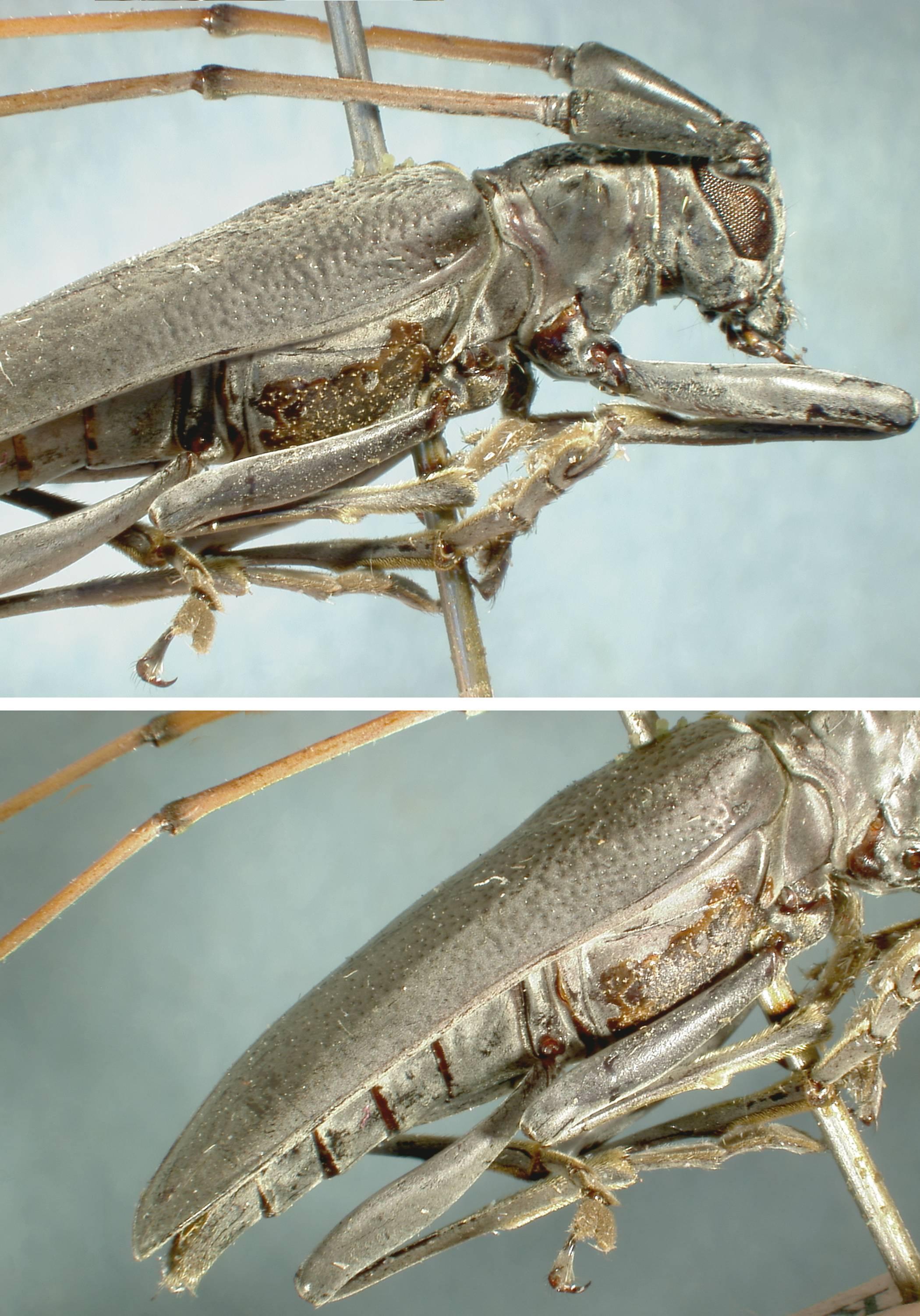 Image of <i>Acalolepta atra</i> (Fisher 1935)