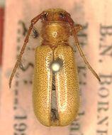 Image of <i>Bacchisa testacea</i> (Thomson 1857)
