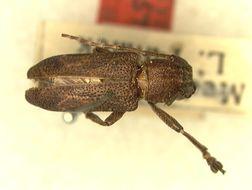 Image of <i>Pterolophia</i> (<i>Ale</i>) <i>gregalis</i> Fisher 1927