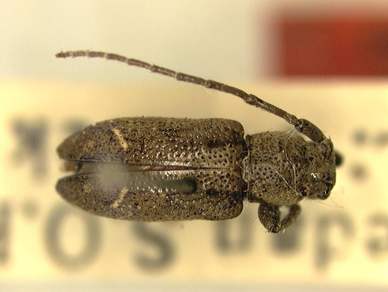 Image of <i>Pterolophia</i> (<i>Ale</i>) <i>idoneus</i> Fisher 1927