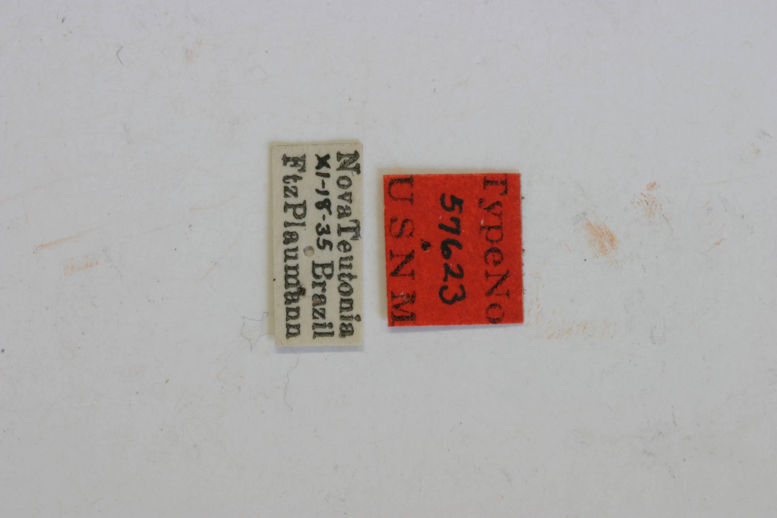 Image of <i>Probatiomimus schwarzeri</i> Melzer 1926