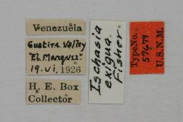 Image of <i>Ischasia exigua</i> Fisher 1947