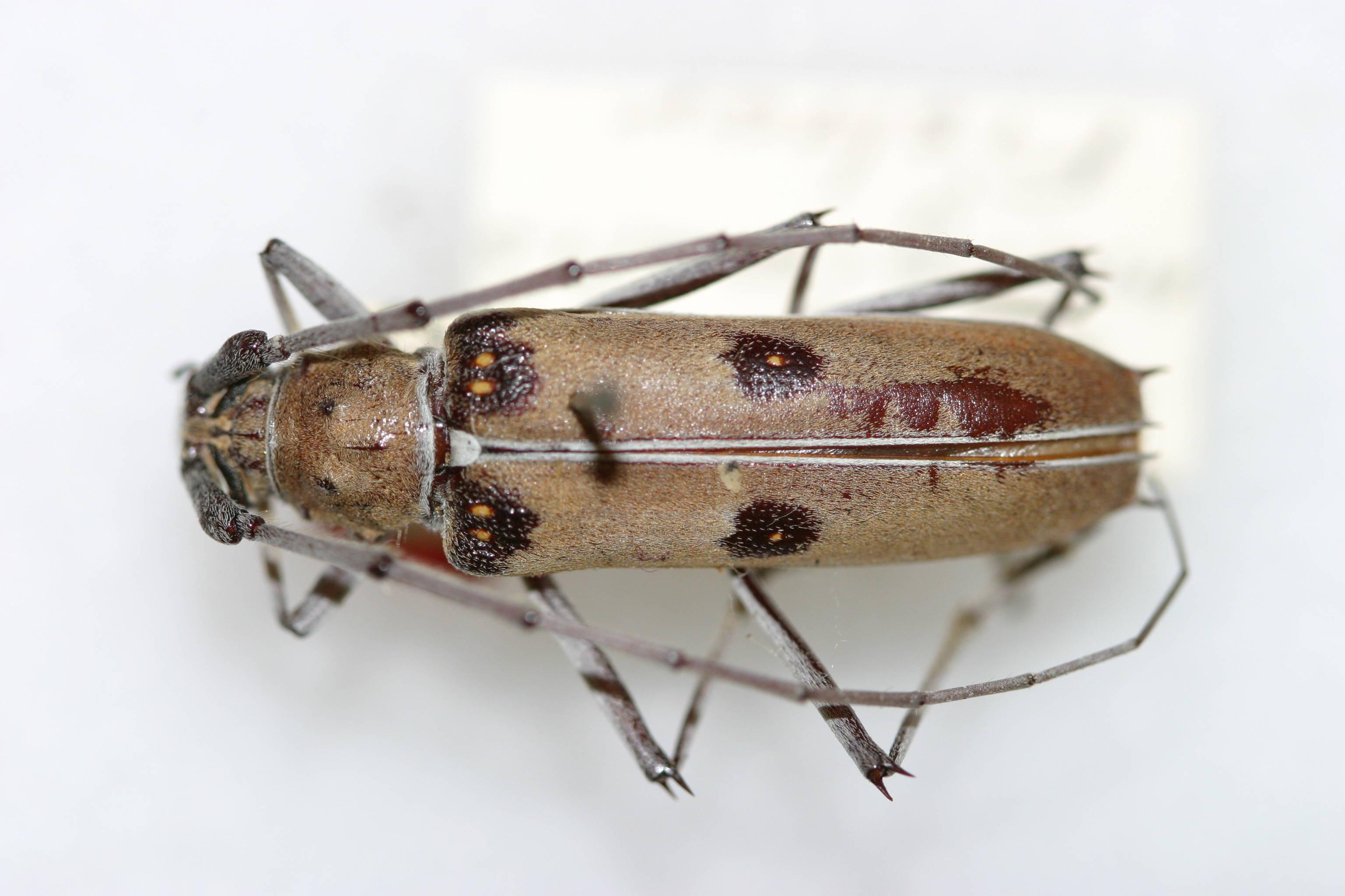 Image of <i>Eburia marginalis</i> Fisher 1947